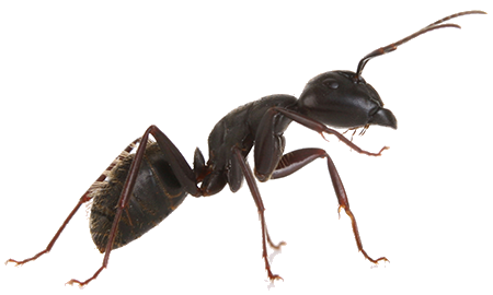 Picture of an Ant